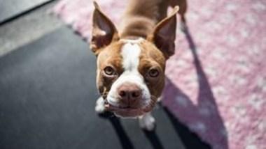 boston-terrier2082.jpg