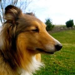 shetland-sheepdog2028.JPG