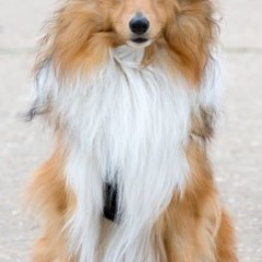 shetland-sheepdog2035.jpg