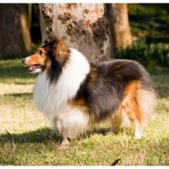 shetland-sheepdog2038.jpg