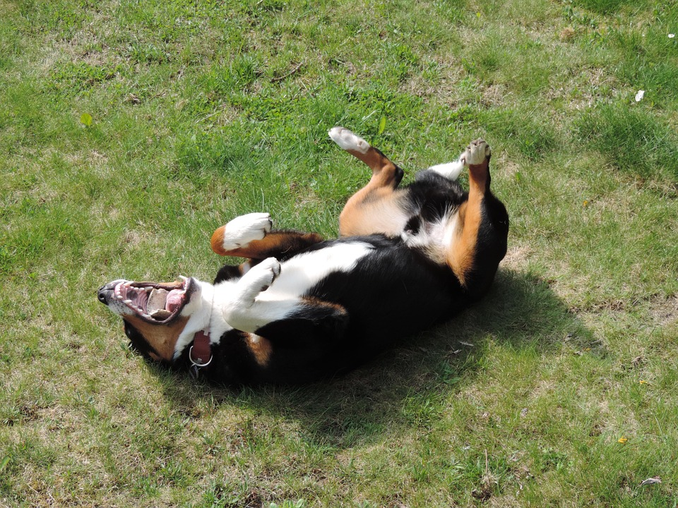 Dog rolling in dirt