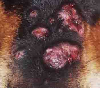 Canine Skin Infection Symptoms Causes And Treatment