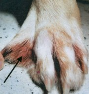 swollen dog paw care
