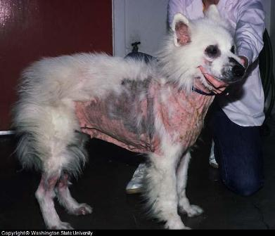 Dog skin itch is often caused by acanine food allergy asshown here.
