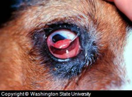 canine eye diagram right blank parts of a flower 3 dog pictures and treatment problems diseases with cherry