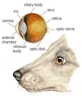 dog bone diagram 91 civic radio wiring tips for maintaining a dog's eye health