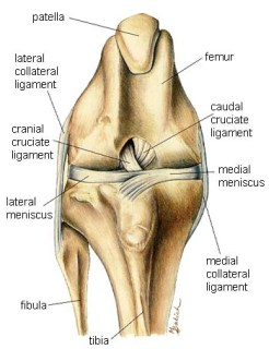 ACL/CCL Injuries In Dogs: Is There Such a Thing As A False Positive Drawer Sign?