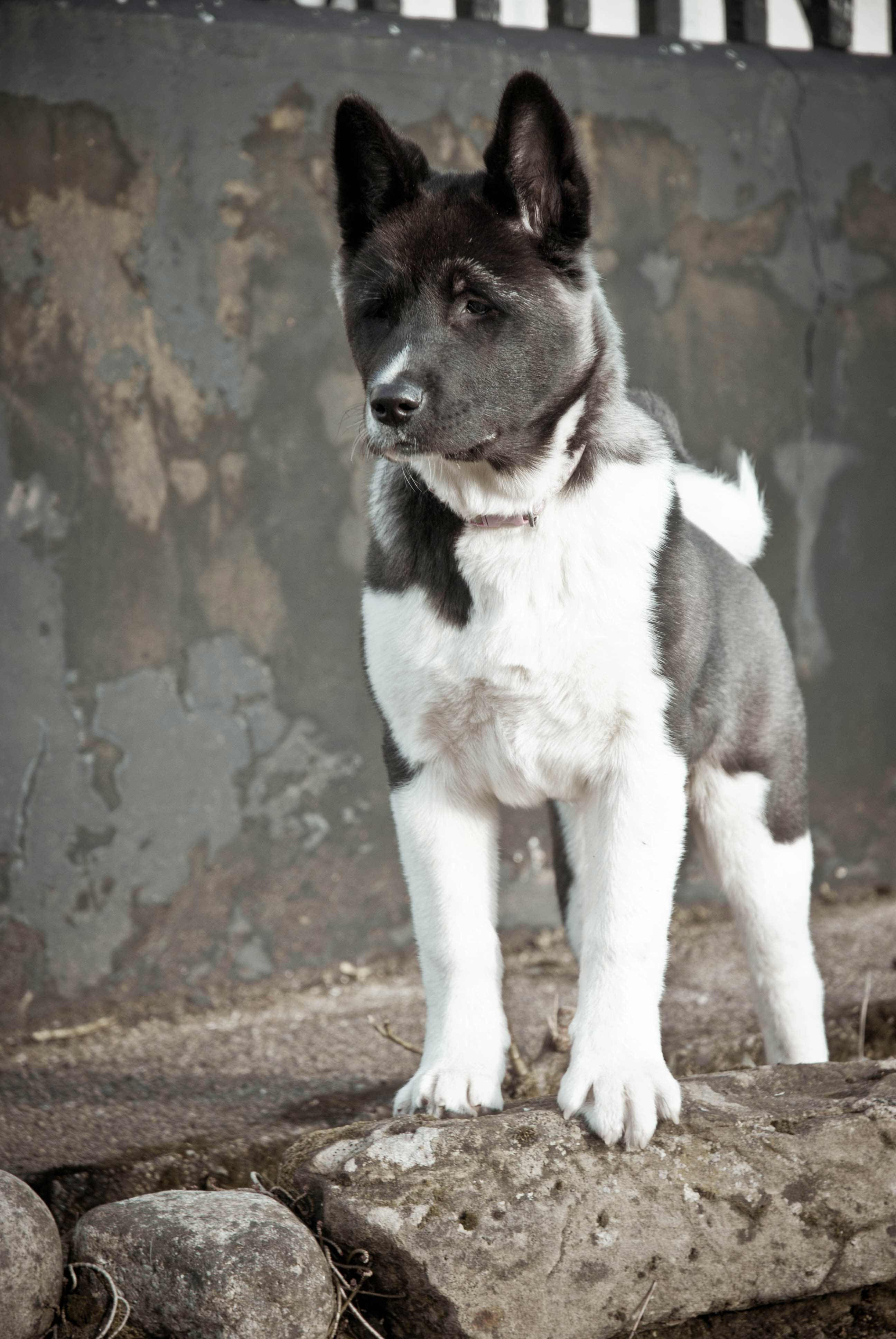 Akita Dog Breed  Information Pictures  More
