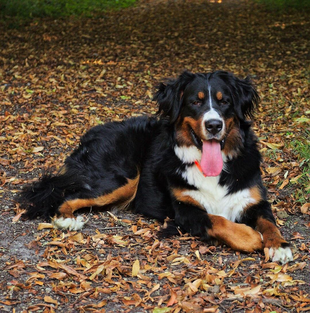 White Dog Mountain Black Brown