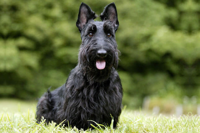 Scottish Terrier Dog Breed » Information. Pictures. & More