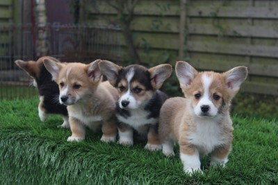 Welsh corgi pembroke pups for sale