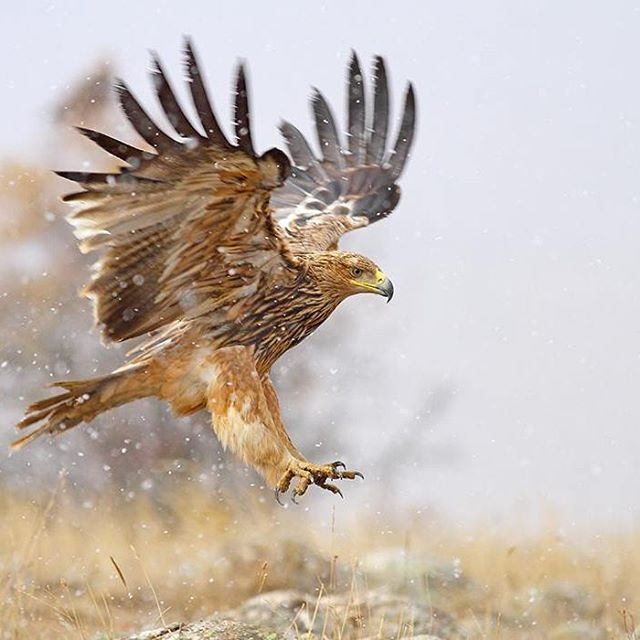 Doas efforts to conserve the Imperial Eagle and its habitatshellip