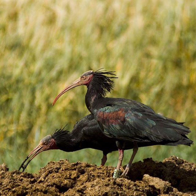 Northern Bald Ibis is one of the globally threatened specieshellip