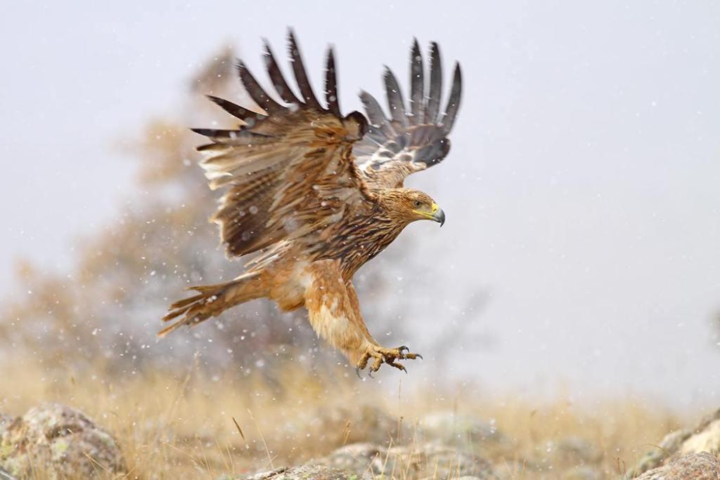 Imperial Eagle / Özden Sağlam