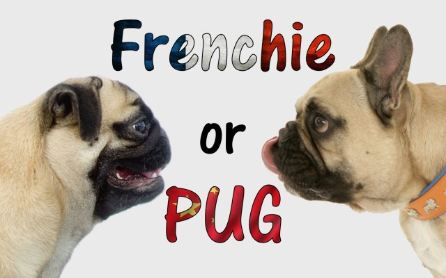 french bulldog or pug: how to tell the difference! - dogaholic
