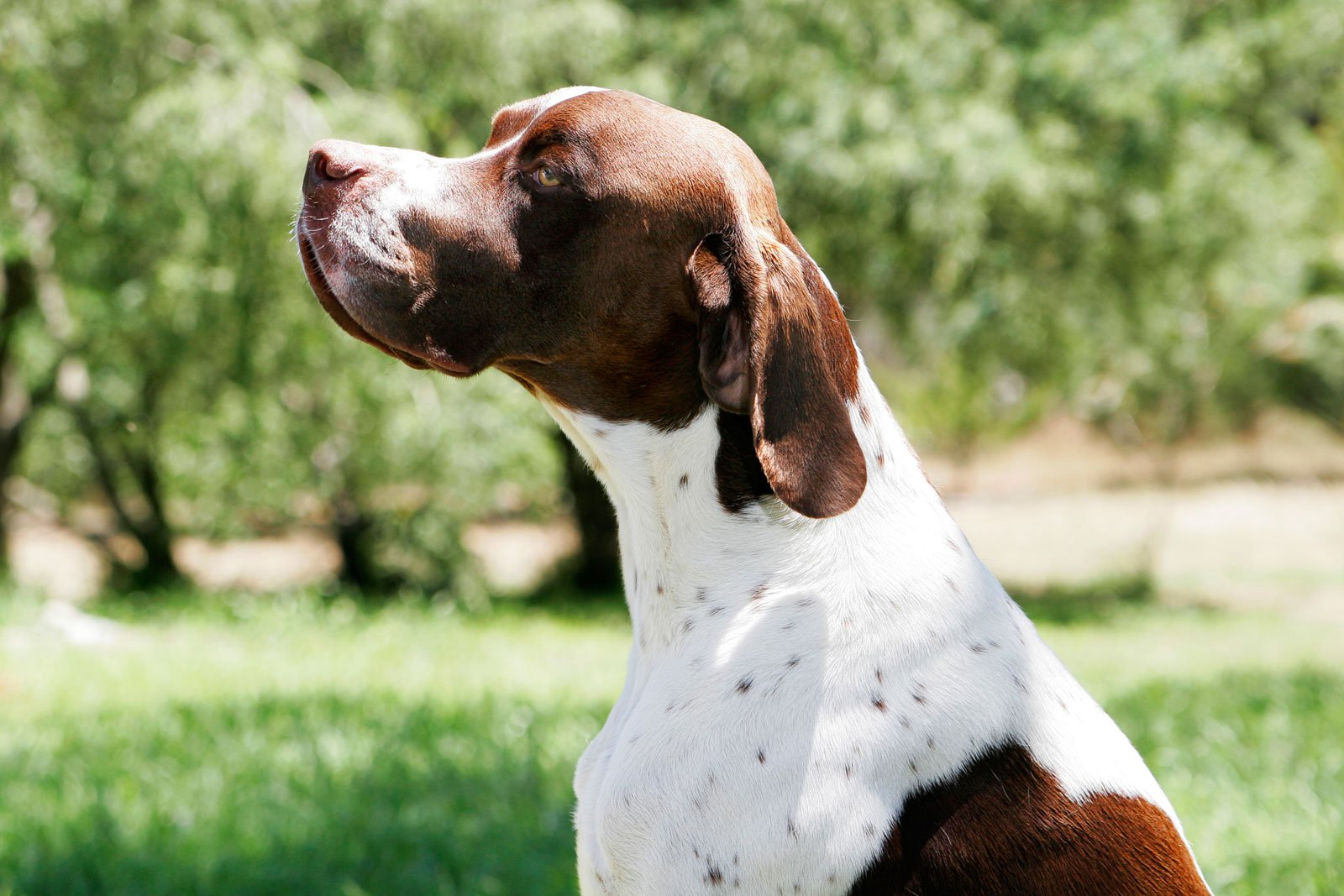 Dog Breeds Pointer Temperament And Personality Dogalize