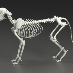 Cat Skeleton Diagram Labeled Pioneer Deh Do You Know How It Looks Like Dogalize