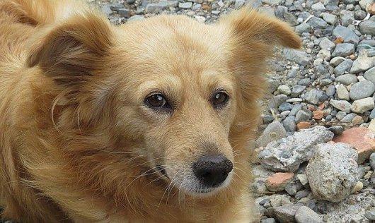 Resultado de imagem para companion dog