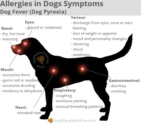 Allergies in Dogs Symptoms - Dog Fever (Dog Pyrexia)