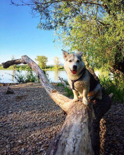 Corgi Husky Mix In Fun Tx Siberian Meet Bear A Dog Corgi