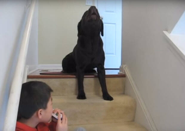 singing labrador with boy