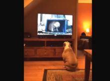 bull dog budweiser commercial