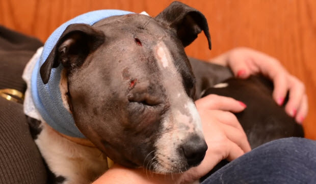 pit bull rescued from dog fighting