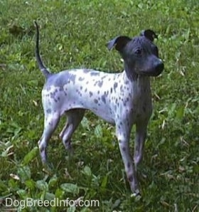 https://i0.wp.com/www.dogbreedinfo.com/images/americanhairlessstandripley.JPG