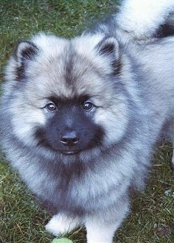 recliner chair for sale bows covers keeshond dog breed pictures, 1