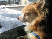 chihuahua dog breed 5
