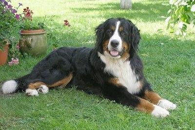 https://i0.wp.com/www.dogbreedinfo.com/images14/BerneseMountainDogKLEOPATRAHERUSPOSEIDONAS.JPG