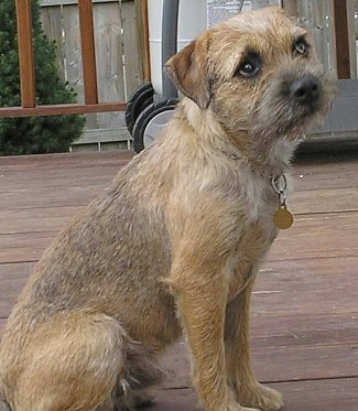 Border Terrier Dog Breed Pictures 2