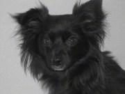 chihuahua dog breed 6
