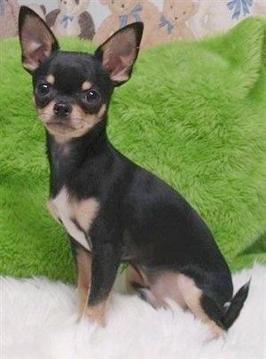 https://i0.wp.com/www.dogbreedinfo.com/images18/ChihuahuaViansBigMacAttackMac33.JPG