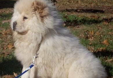 Chow Chow For Sale Akc Marketplace