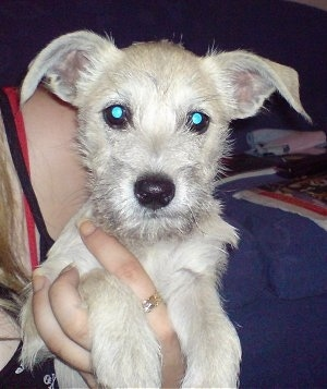 Pom A Nauze Dog Breed Information And Pictures
