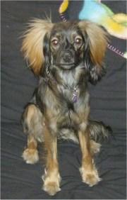 chiweenie dog breed
