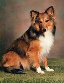 Shetland Sheepdog Dog Breed Information and Pictures