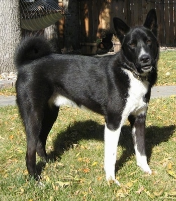 Image result for karelian bear dog