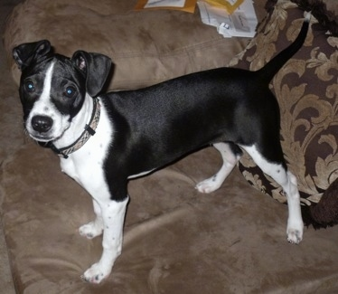 Bostalian Dog Breed Information and Pictures