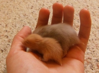 https://i0.wp.com/www.dogbreedinfo.com/images23/HamsterPupsRuntGrayTwinkiesPups18DaysOld.jpeg