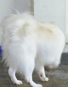 white with tan japanese spitz is walking towards bowl of water and food next also dog breed information pictures rh dogbreedinfo
