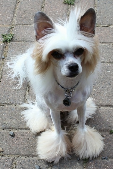 Powderpap Dog Breed Information And Pictures