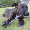 Peetie the 50 german shepherd and 50 american pit bull terrier puppy