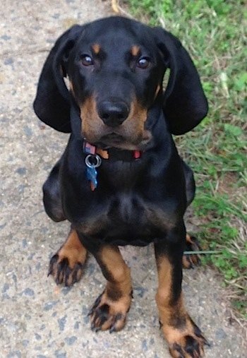 Black and Tan Coonhound Dog Breed Information and Pictures