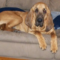 Big Dog Sofa Bed White Leather With Nailheads Bloodhound Breed Information And Pictures