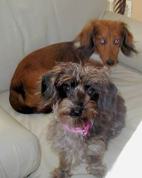 List Of Dachshund Mix Breed Dogs