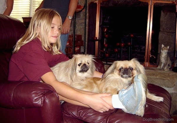 Pekingese Dog Breed Information and Pictures