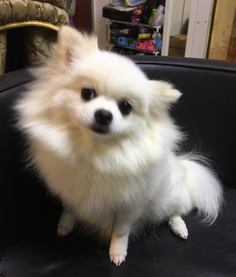 Pomeranian Dog Breed Pictures 5