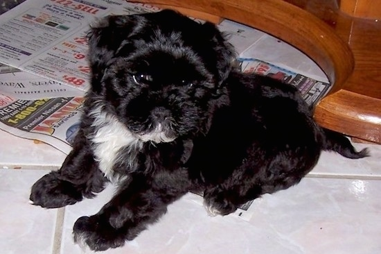 Old Black And White Terrier